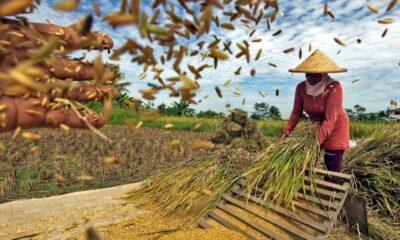 FAO Sebut Indonesia Alami Peningkatan Produksi Beras