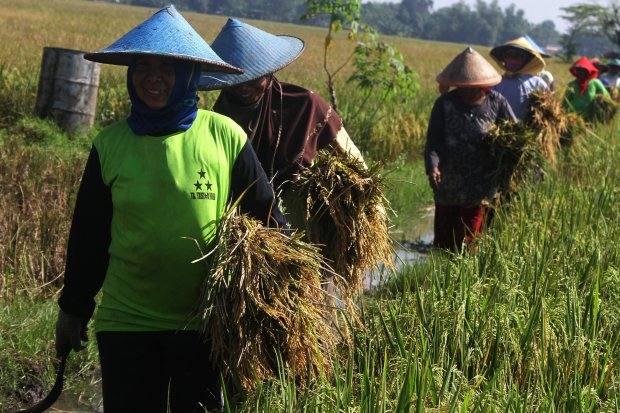 Jaga Kesejahteraan Petani, Kementan Bentuk Tim Terpadu Gerakan Serap Gabah