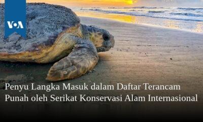 Penyu Langka Masuk dalam Daftar Terancam Punah oleh Serikat Konservasi Alam Internasional