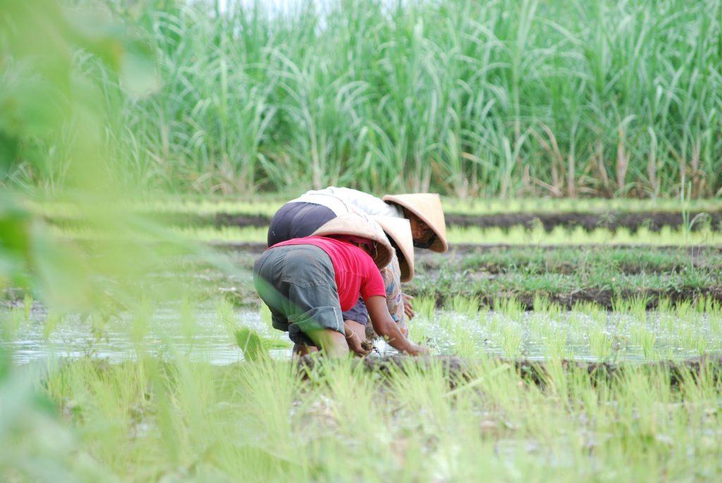 Kuartal I/2021, PT Pertani Dipercaya Memasok Benih Padi 380.000 Hektar Sawah
