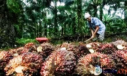 Morotarium Masih Berlaku, Papua Mulai Rindu Kebun Plasma Kelapa Sawit -