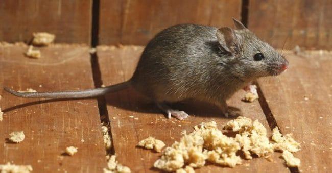 14 Cara Mengusir Tikus Tanpa Racun, Pakai Bahan Alami yang Ada di Dapur!