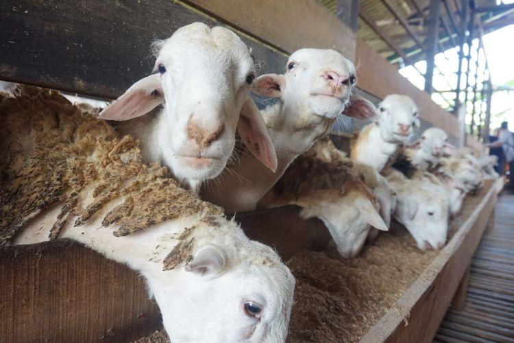 Kabupaten Purwakarta Terus Alami Surplus Domba Sejak 2016
