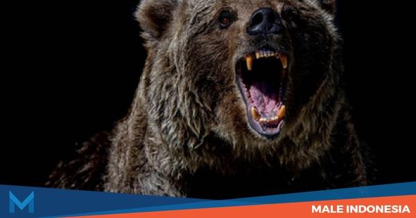 Serangan Beruang Paling Mematikan dalam Sejarah