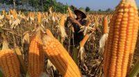 Stabilkan Pasokan Jagung, Kementan Gencarkan Subsidi Distribusi